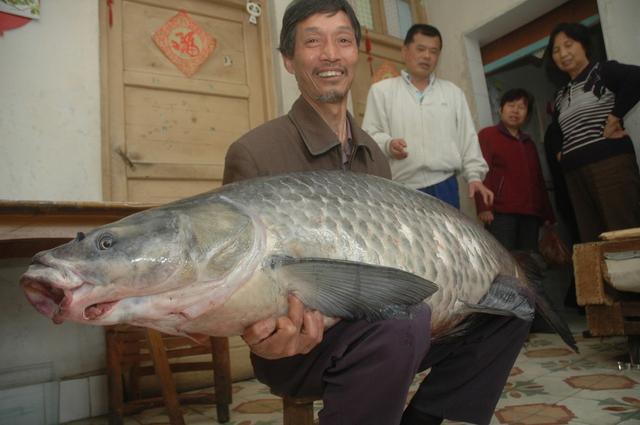 螺蛳青鱼用什么饵料