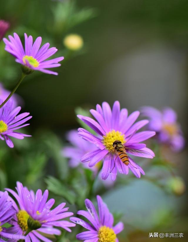 紫菀的栽培技术,既可药用又可观花,赶快收藏下来吧