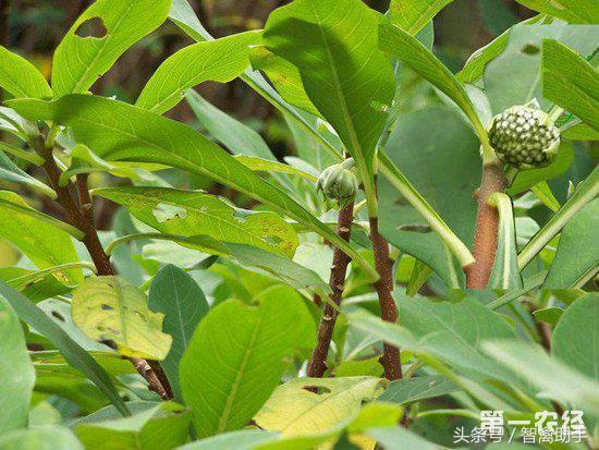 绿萝花茶的减肥作用好吗 喝绿萝花茶有什么作用