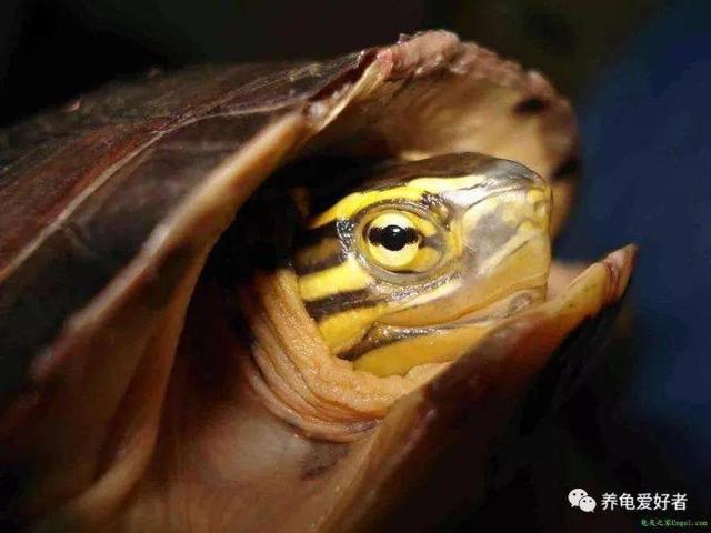 乌龟的耳朵在哪里