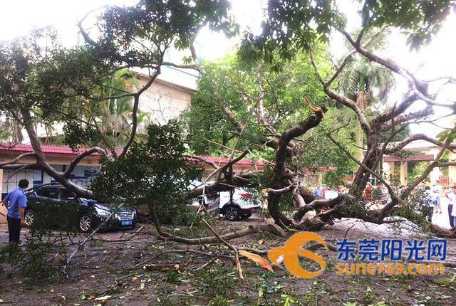 突发!东莞一棵5层楼高的百年榕树轰然倒下,压坏多车……