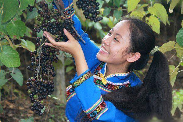 用野山葡萄,做葡萄酒怎样做