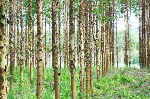 广西为什么很多地方都在种速成桉?这种树不是被禁止种植了吗?