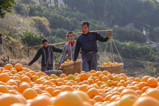 """阿里巴巴发起""""家乡的宝藏""""电商扶贫计划,助农销售超133吨橙子"""