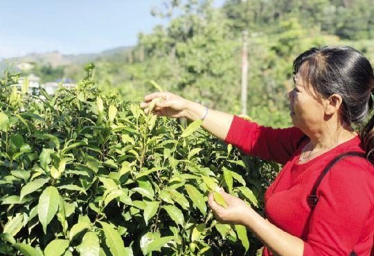 发展茶叶产业