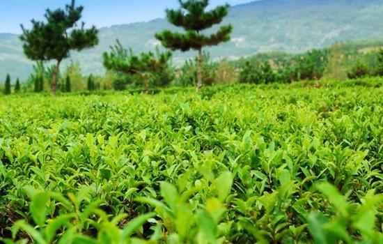 关于写家乡的山水茶的作文