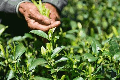 九龙朝 龙井茶的产地是