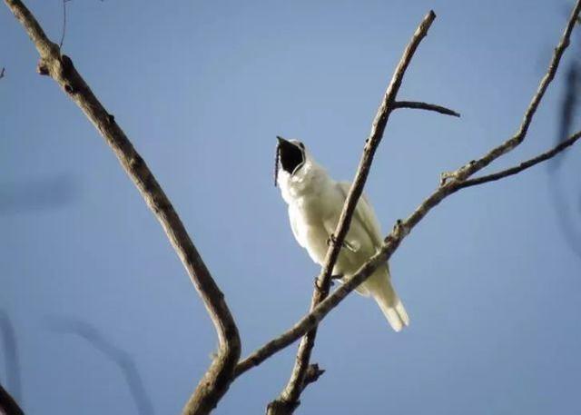 世界上叫声最响的鸟,声音高达125分贝,比卡车喇叭还响