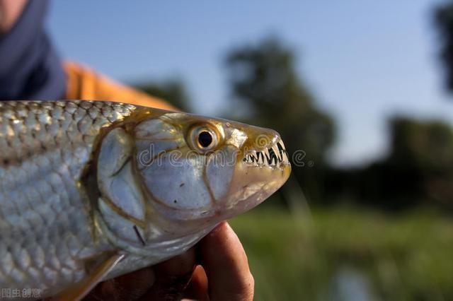 钓青鱼用什么作饵