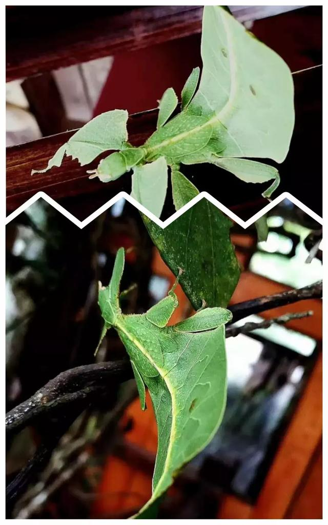 像树叶一样的蛾子,这是什么品种啊