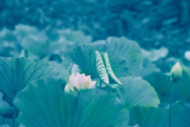 花卉摄影:咏荷