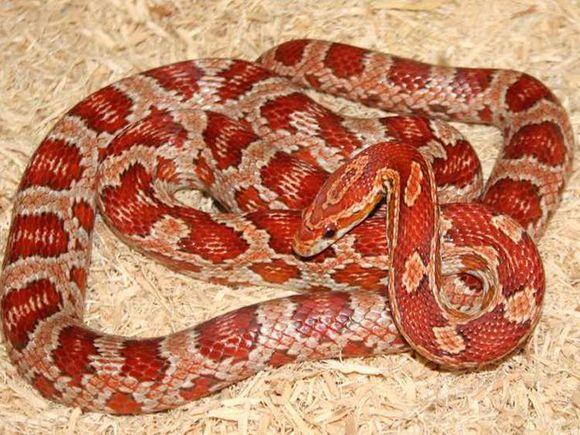 听说你想养蛇?关于饲养宠物玉米蛇不得不说的事情(科普期)