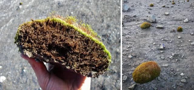"""一群毛茸茸的绿色""""冰川老鼠"""",让科学家们困惑:它们怎么移动?"""