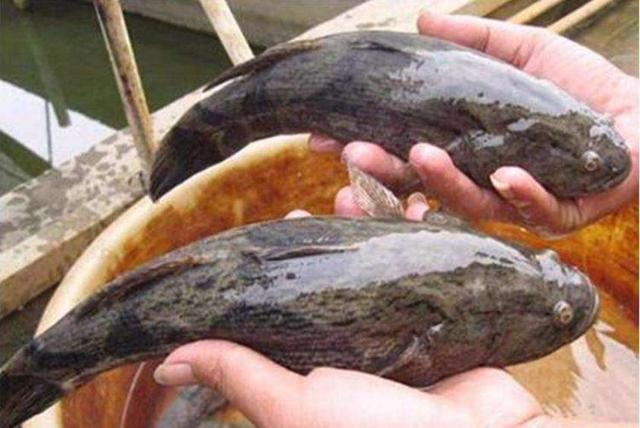 呆子鱼养殖