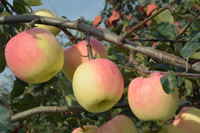 常见的苹果种类