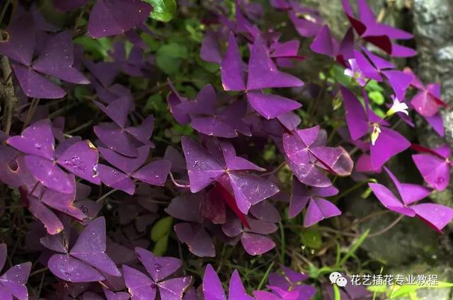 这植物叫啥?叶子有点像含羞草,味道像薄荷,花紫色的