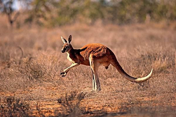 盘点动物界十大跳跃高手