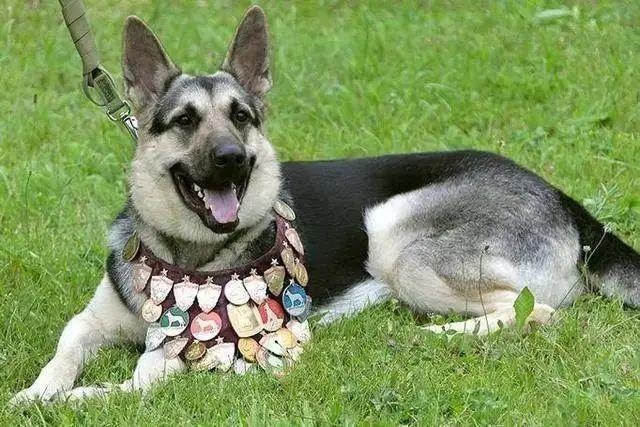 被遗弃的德牧成为军犬:余生请幸福下去