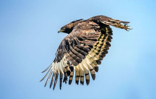 盘点世界上体型最庞大的六种鹰