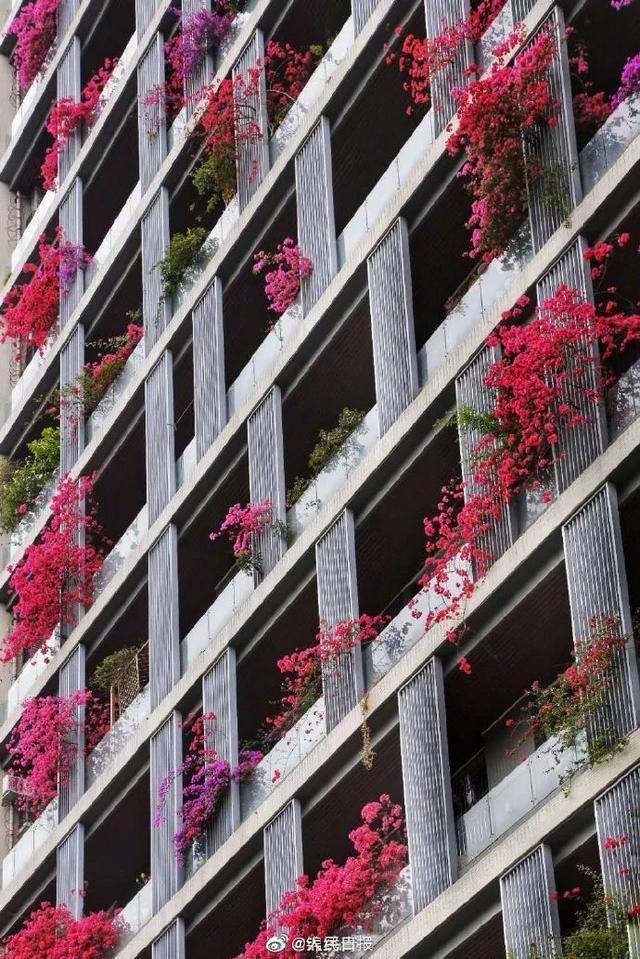 太美了!成都居民楼被三角梅装点成花墙