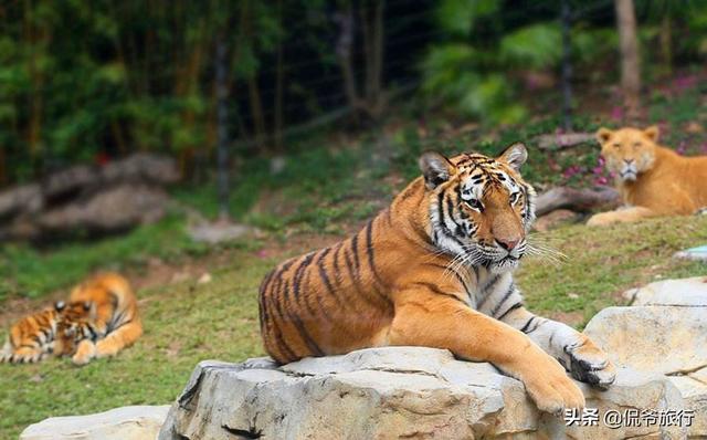 """全球最差劲的动物园,万兽之王被养成""""无毛狮"""",老虎被饿成了猫"""