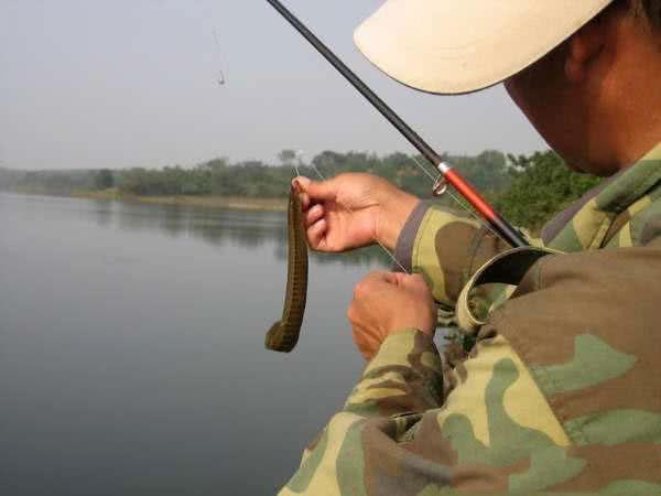 鳗鱼是泥鳅吗
