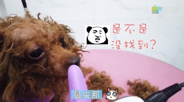 女子捡到一只流浪犬,剃毛时,被狗狗身上的跳蚤吓哭