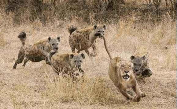 """为什么""""非洲二哥""""鬣狗对上非洲野狗,很容易被反杀?"""