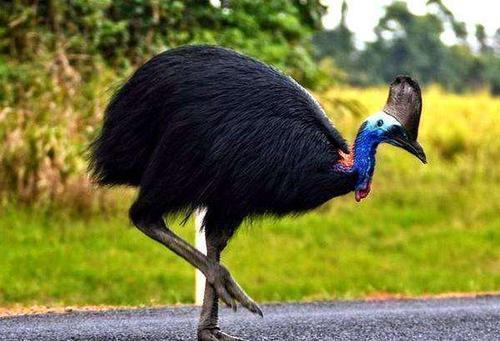 """吉尼斯记录最危险的鸟,号称""""杀人鸟"""",爪如匕首能瞬间将人开膛"""