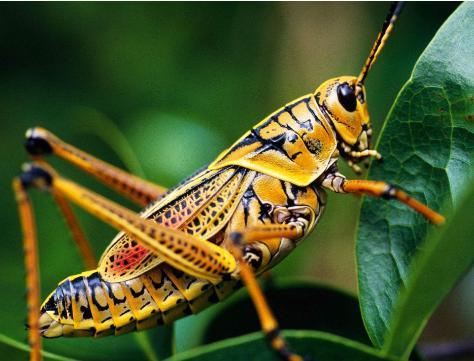 中国科学家在《自然》杂志上发表论文,揭示蝗虫聚群成灾的奥秘