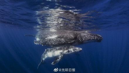 摄影师近距离拍到座头鲸母子同游