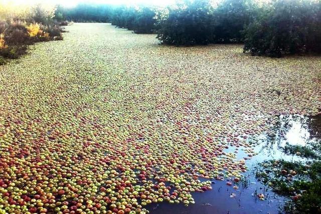 英国极端天气摧毁果园 成千上万个苹果漂浮在水上