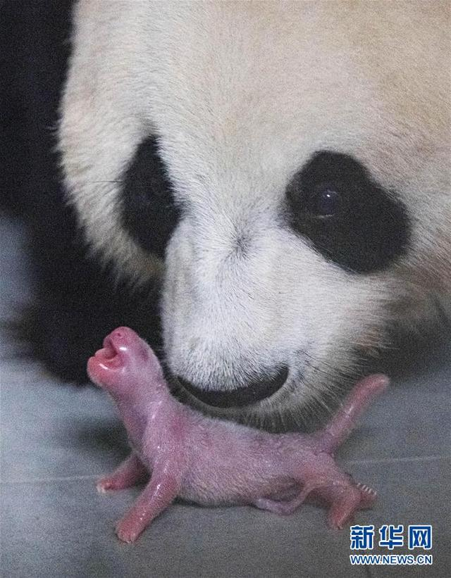 旅韩大熊猫顺利产下雌性幼崽