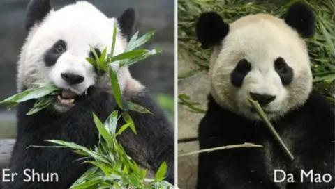 我们在加拿大的熊猫要断粮了