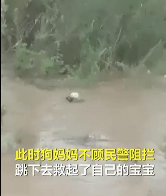 """""""狗妈妈冲入洪水救小狗""""后续:目前被宠物店照顾,已有爱心人士收养"""