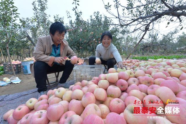 潮泉苹果丰收采摘忙