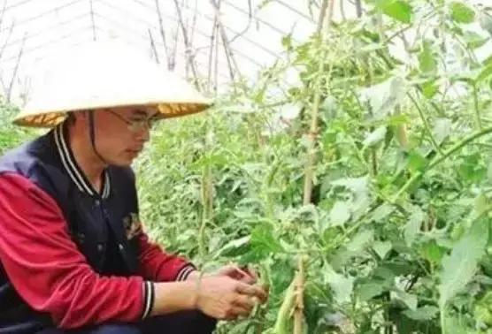 番茄种植怎么修剪