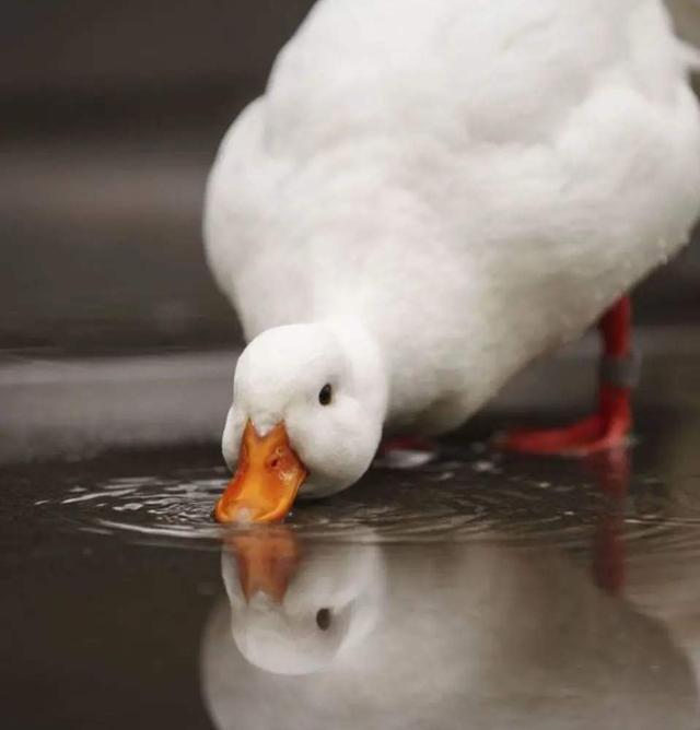 网红宠物柯尔鸭的成长史,圆润可爱,但养之前要三思