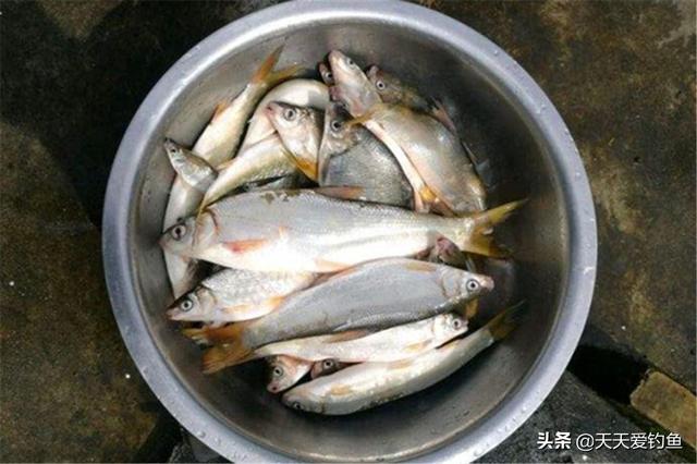 钓鲴鱼用什么饵料好