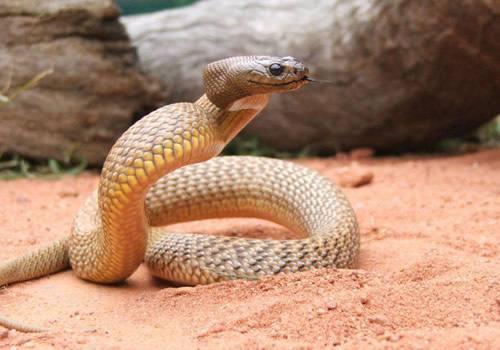 盘点世界上最毒的十种蛇