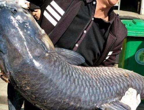 滑漂钓青鱼用什么饵