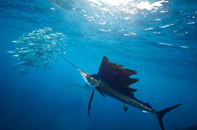 海洋中时速最快的十大鱼类