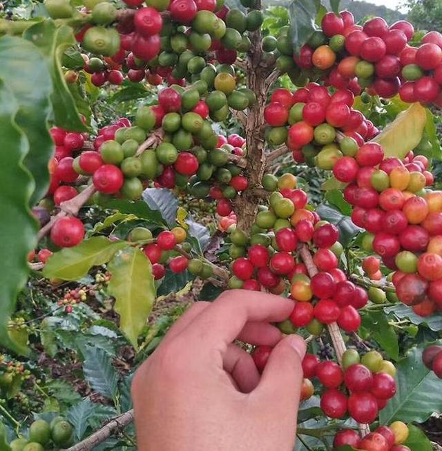 普洱市咖啡豆价格