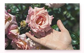 大马士革玫瑰纯露成分大揭秘