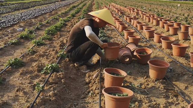 培植菊花的最佳方法