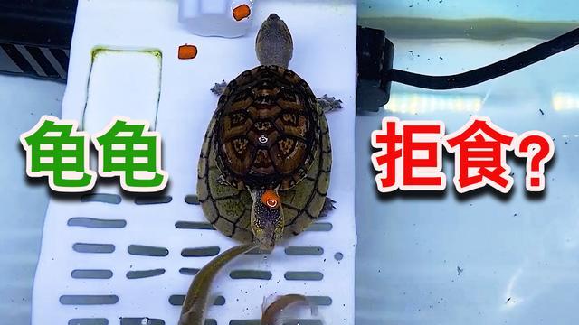 为什么给乌龟喂食它却不吃