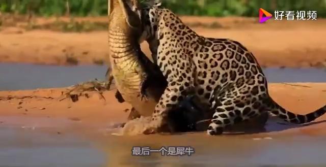 非洲五大动物猎手(狮子、鬣狗、野狗、花豹、猎豹)谁排第一