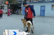 男子在路边捡到秋田犬,眼睛黝黑发亮活泼可爱!求助媒体寻主人!