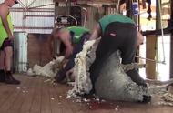 绵羊快速剃毛的过程,一个角落都不放过
