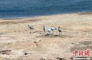 珍惜野生动物灰鹤、马鹿现身三江源国家公园黄河源园区